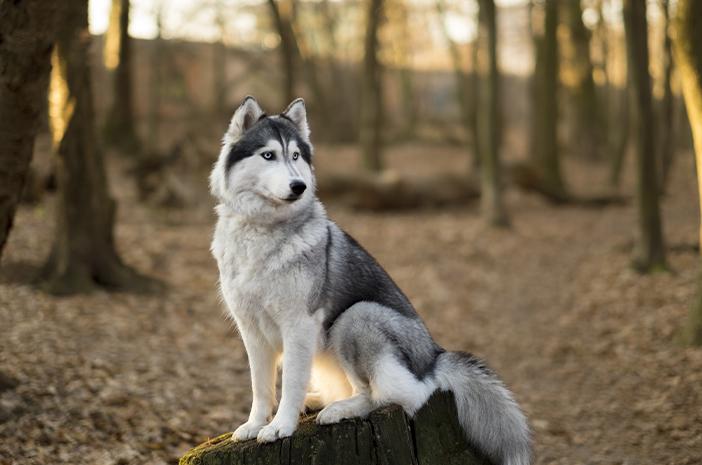 Ras Anjing Terbaik untuk Cuaca Dingin