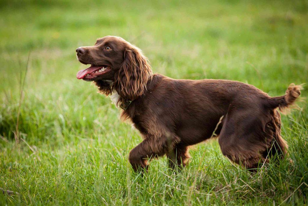 Panduan Mengenai Ras Anjing Field Spaniel