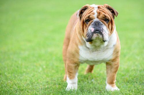 Apakah Ras Anjing English Bulldogs Hypoallergenic?