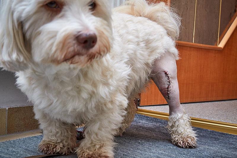 Luxating Patella pada Anjing
